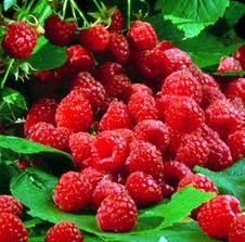 raspberry-ketone-burn-fat-supplement